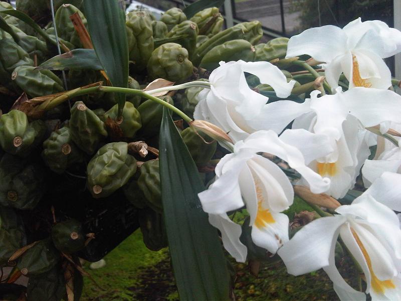 Orquidea Coelogyne Cristata Coelogyne Cristata Kew