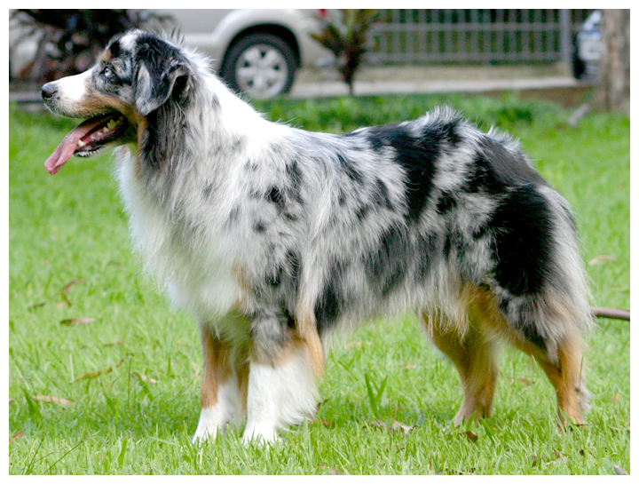 http://upload.wikimedia.org/wikipedia/commons/c/c2/Australianshepherd01.jpg