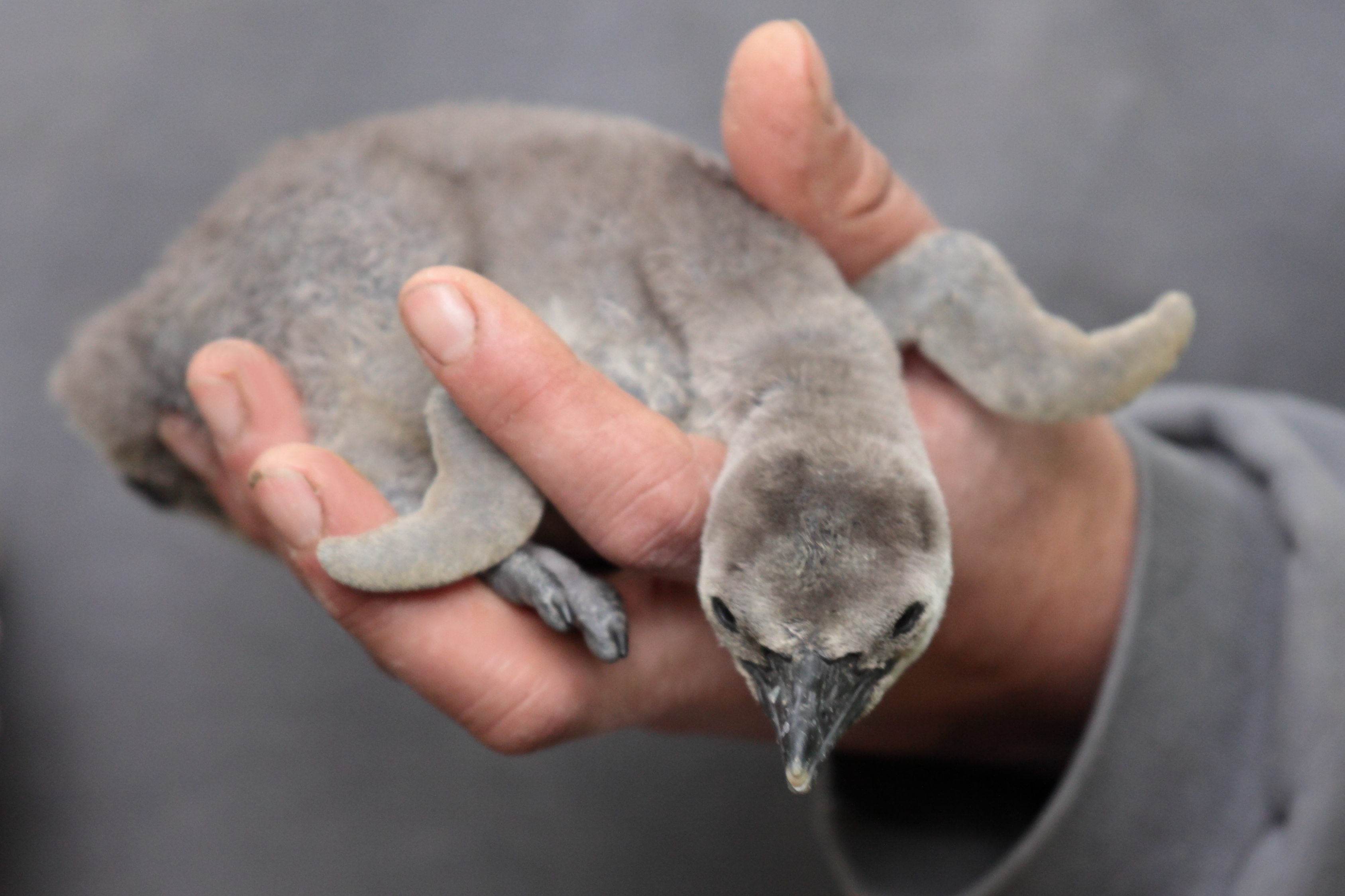 baby penguin images