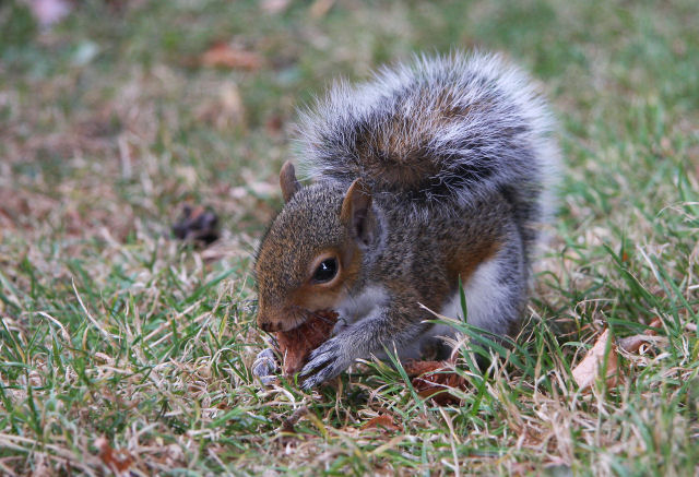 Baby squirrel - geograph.org.uk - 1503806