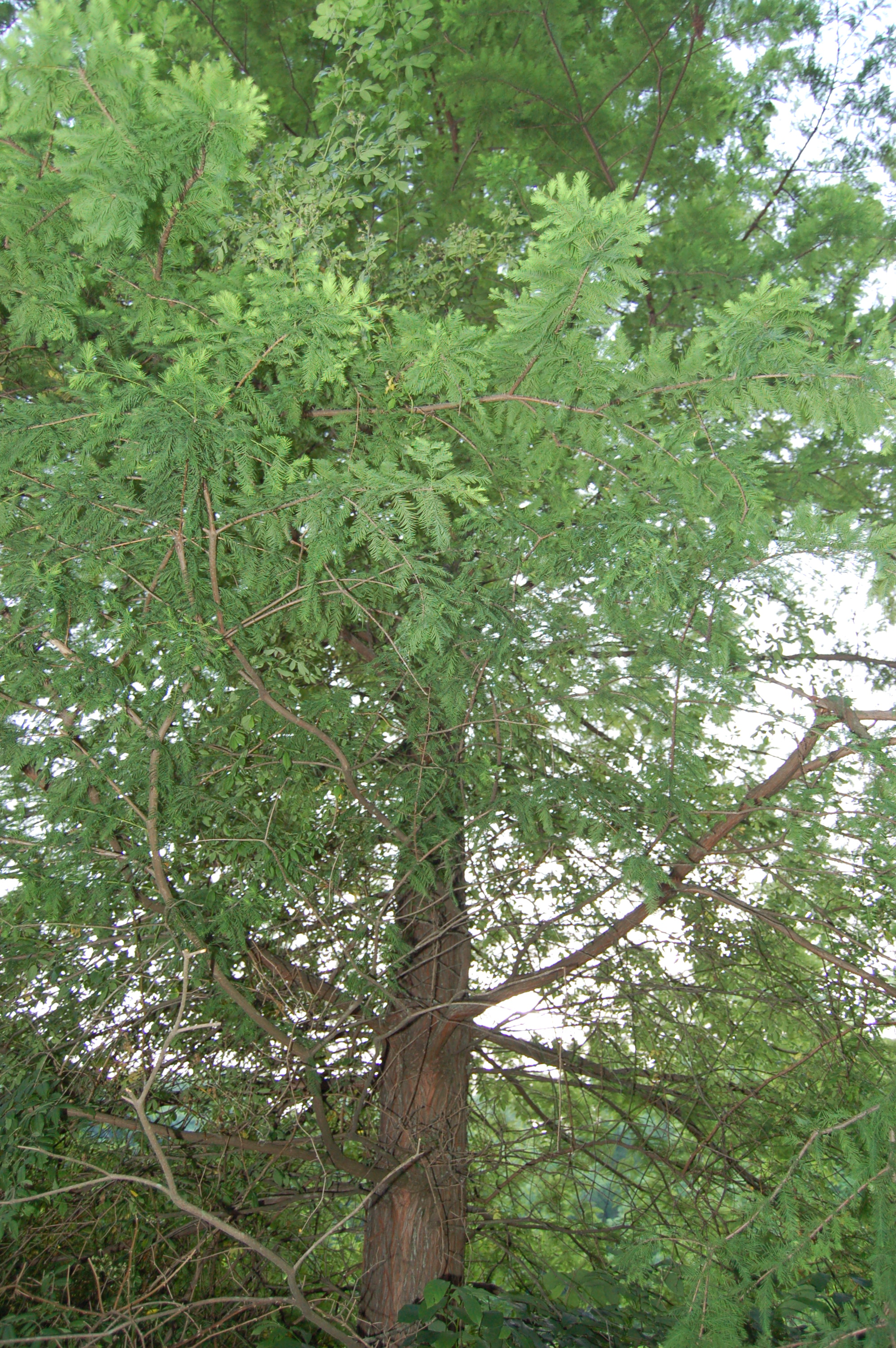 Bald Cypress Tree Pictures 104