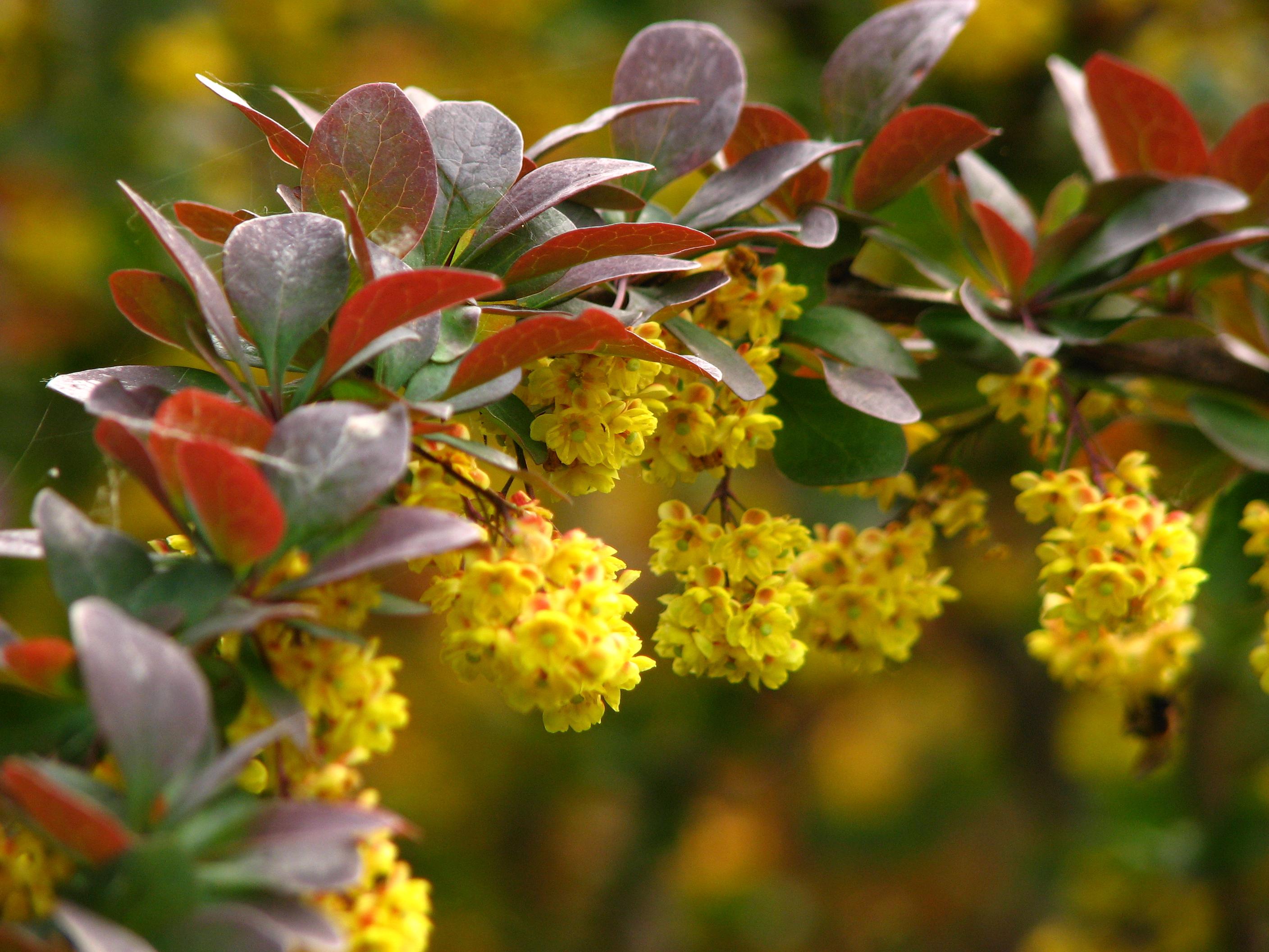 Barberry Barberry new picture