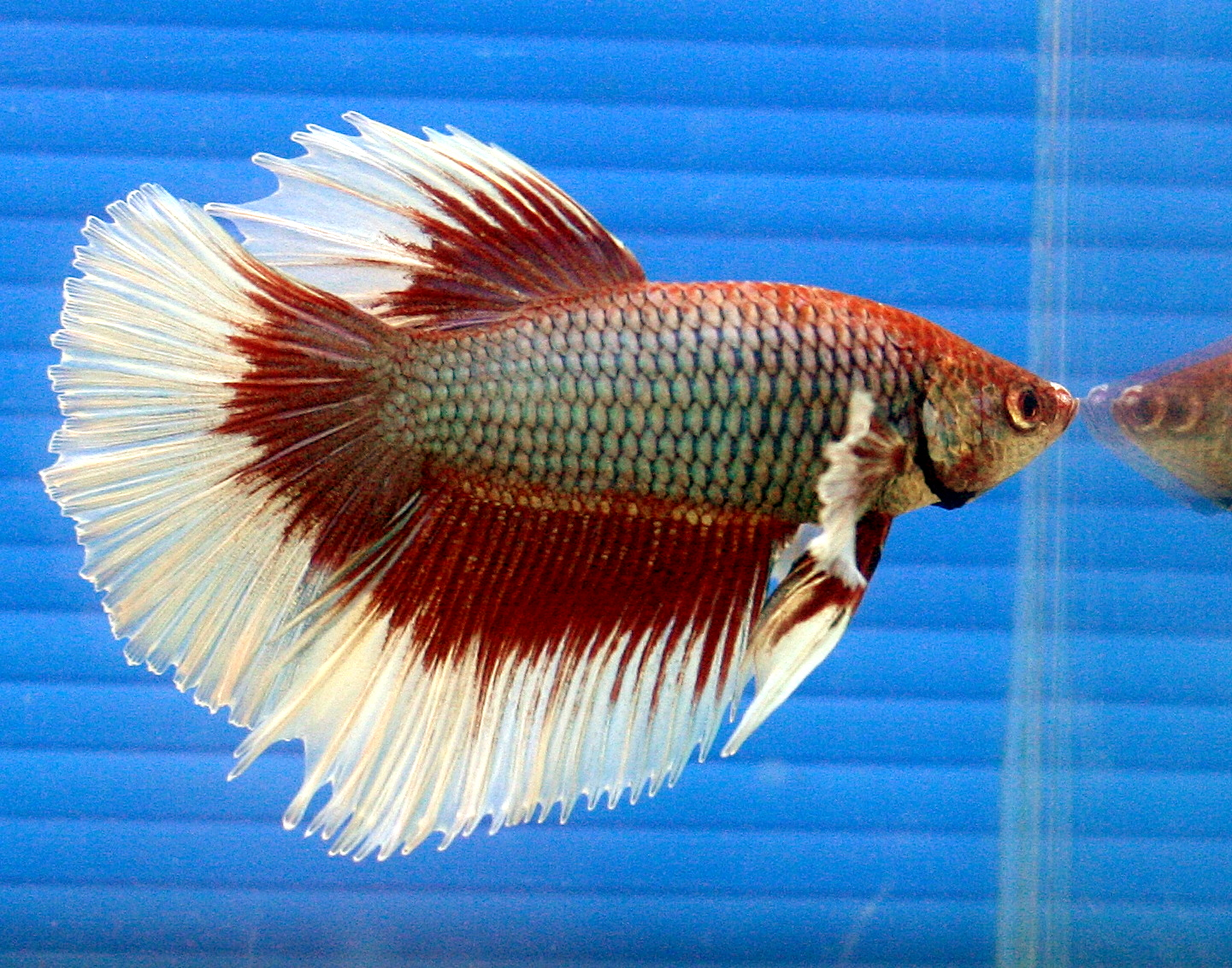 File betta half wikimedia commons for Can bettas live with other fish