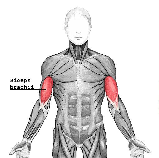 Musculus biceps brachii – Wikipedia