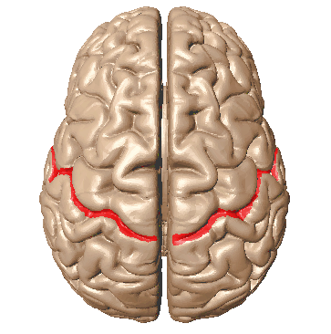 file:central sulcus superior view - wikimedia commons, Human Body