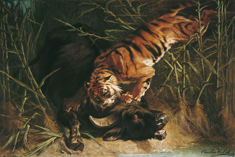 Buffle surpris par un tigre