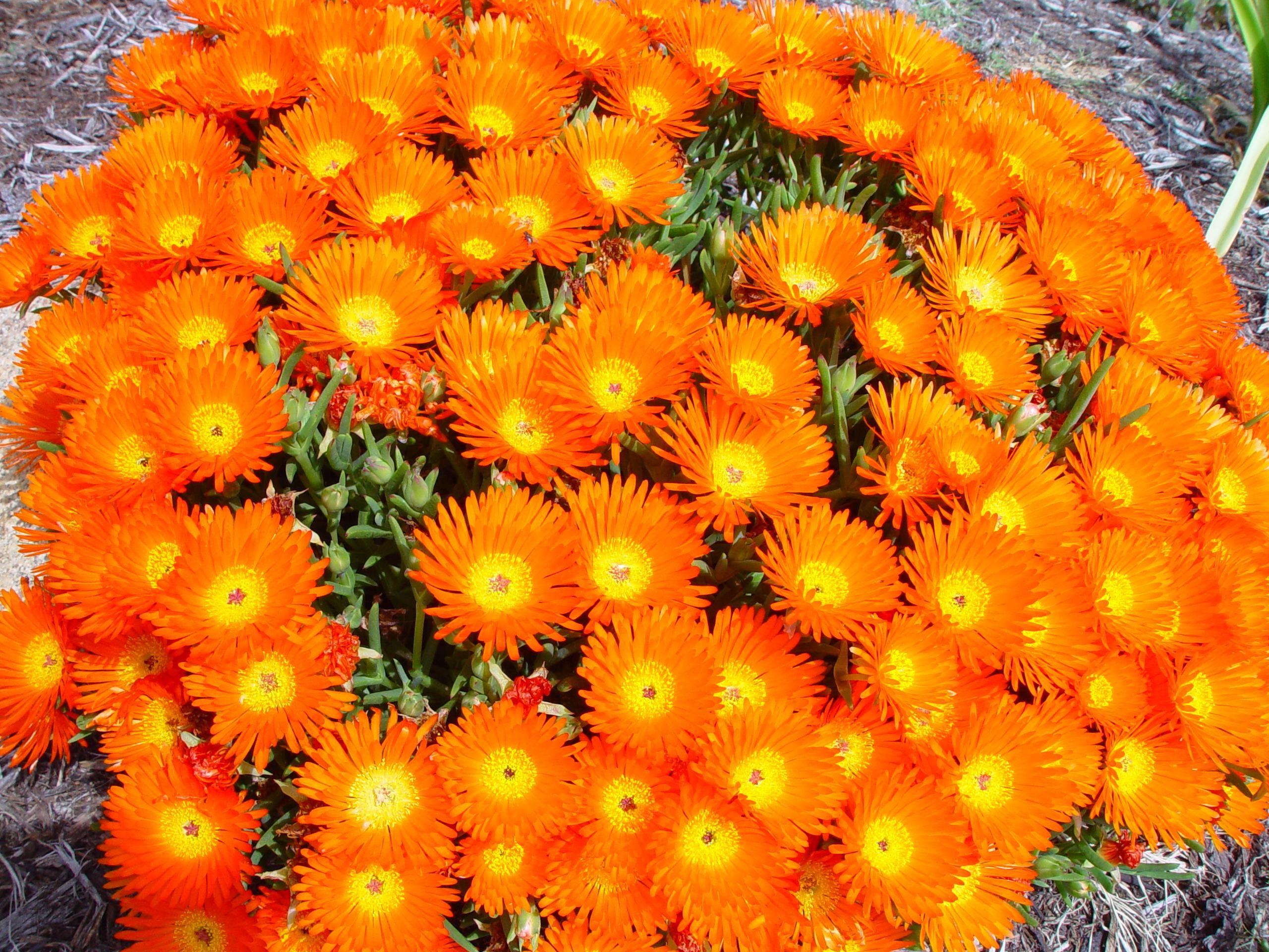 Fileclump of bright orange flowersg wikimedia commons fileclump of bright orange flowersg mightylinksfo
