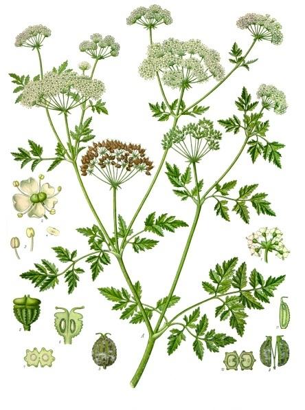 File:Conium maculatum - Köhler–s Medizinal-Pflanzen-191.jpg
