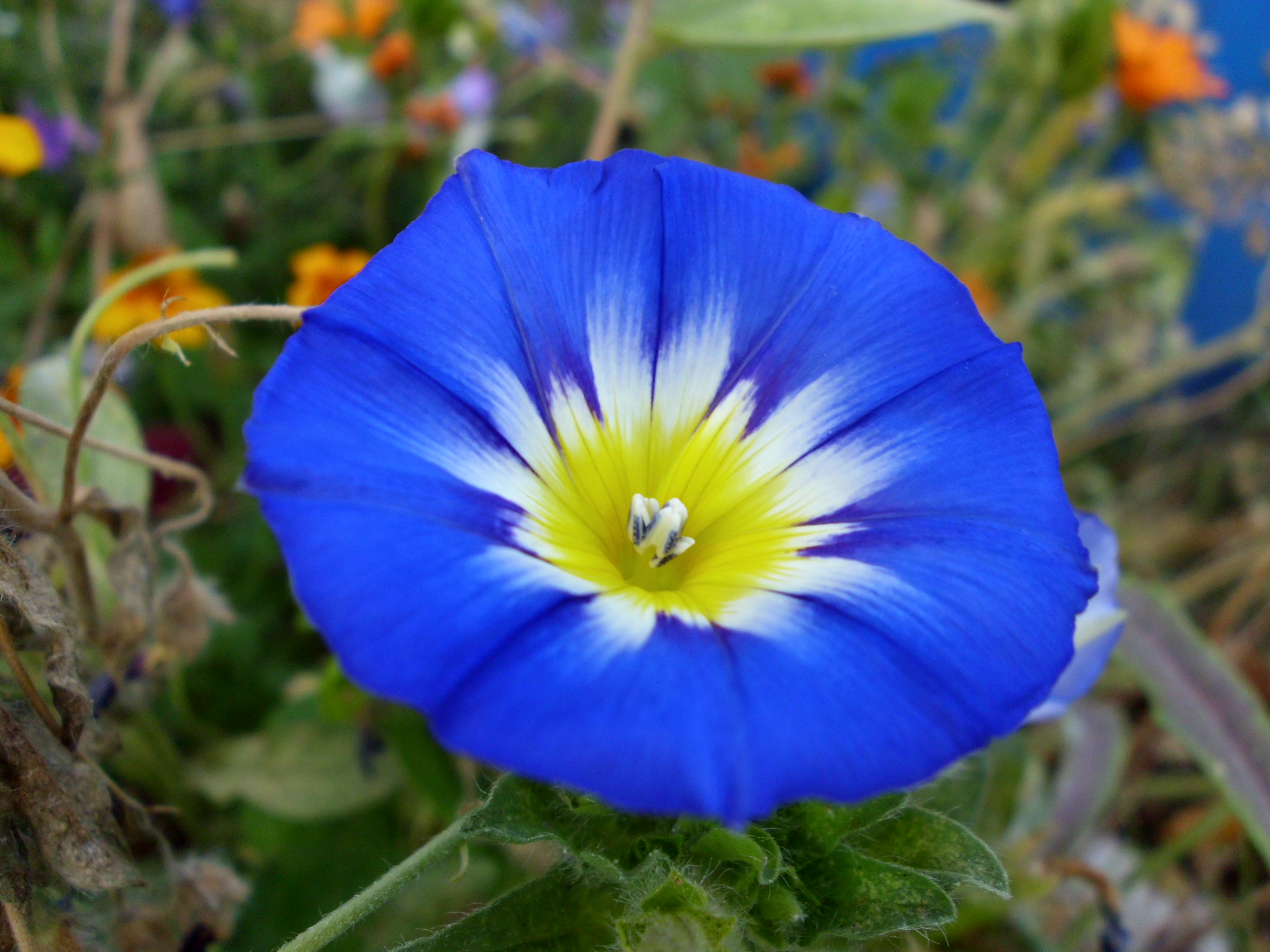 Description convolvulus tricolor - dwarf morning glory