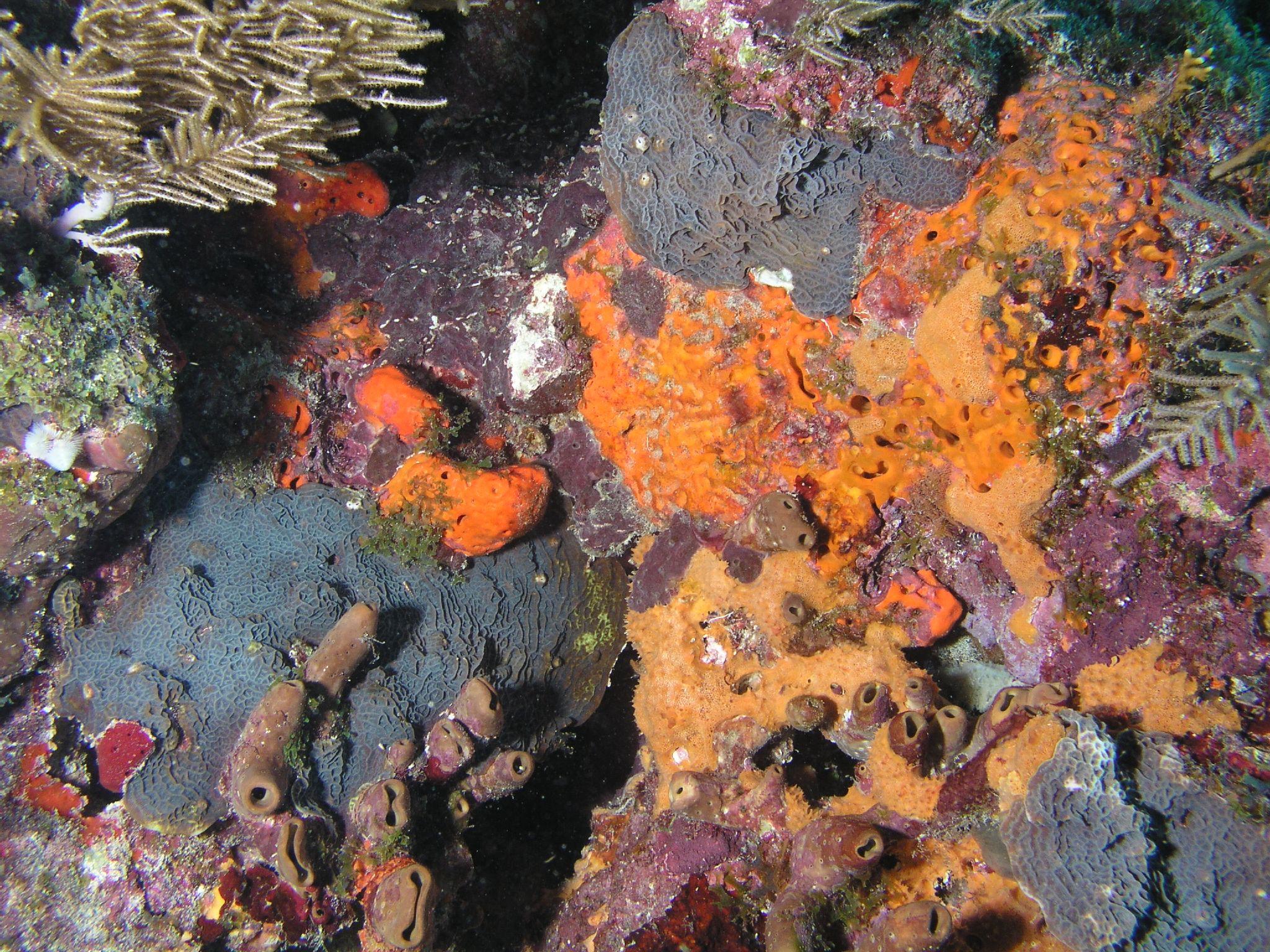 Encrusting Sponge File:Coral Encrusting ...
