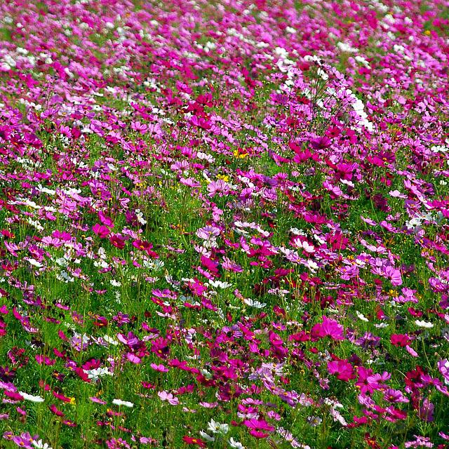 File:Cosmos flowers in Thailand 08.jpg