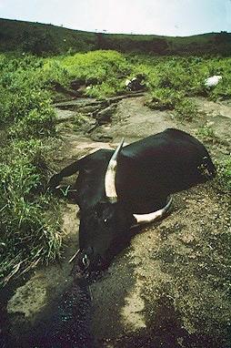 Cow killed by Lake Nyos gasses