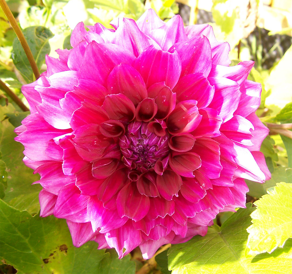 dahlia images - reverse search