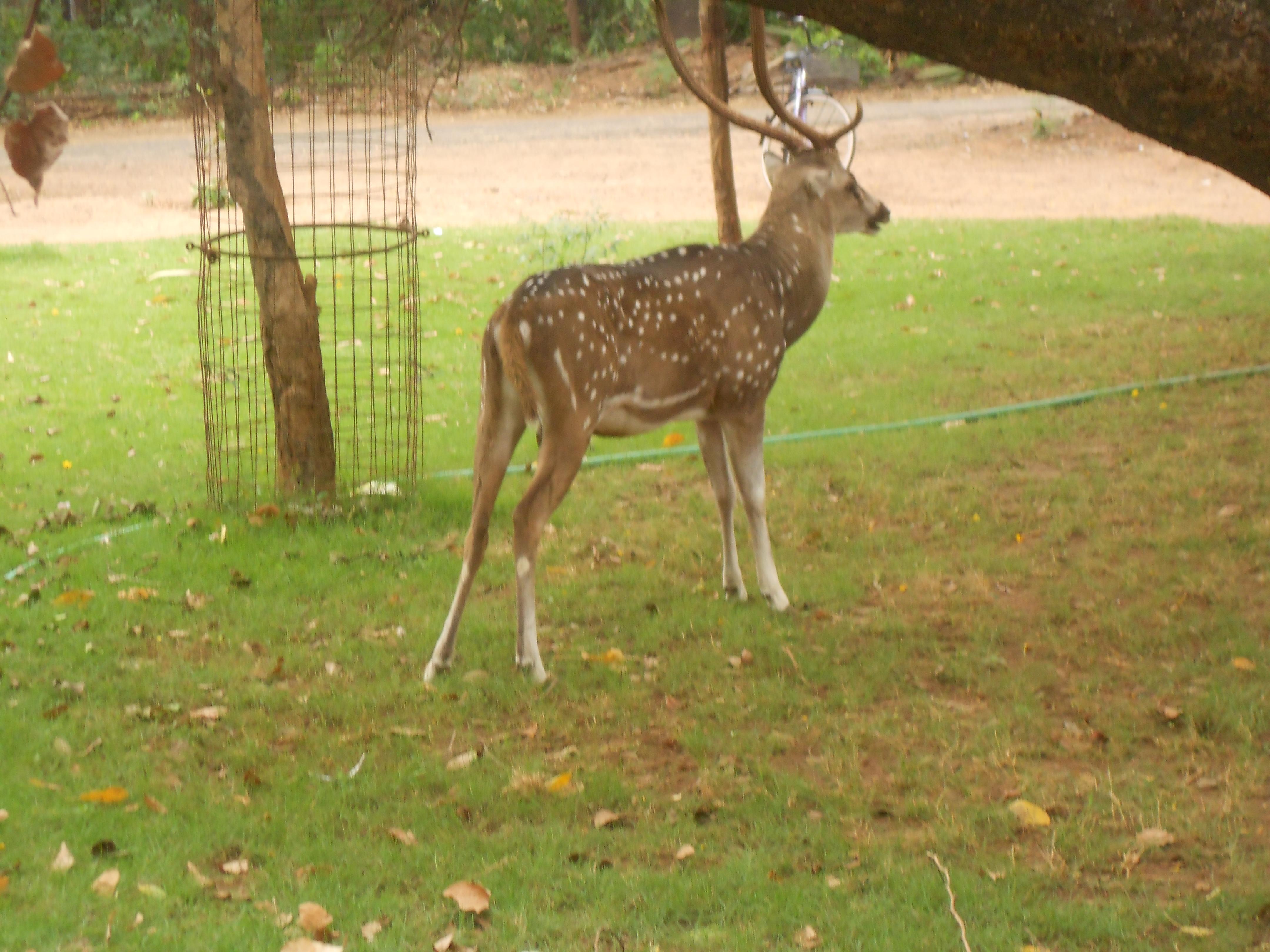 IIT Madras Wikipedia: File:Deer In IIT Madras.jpg