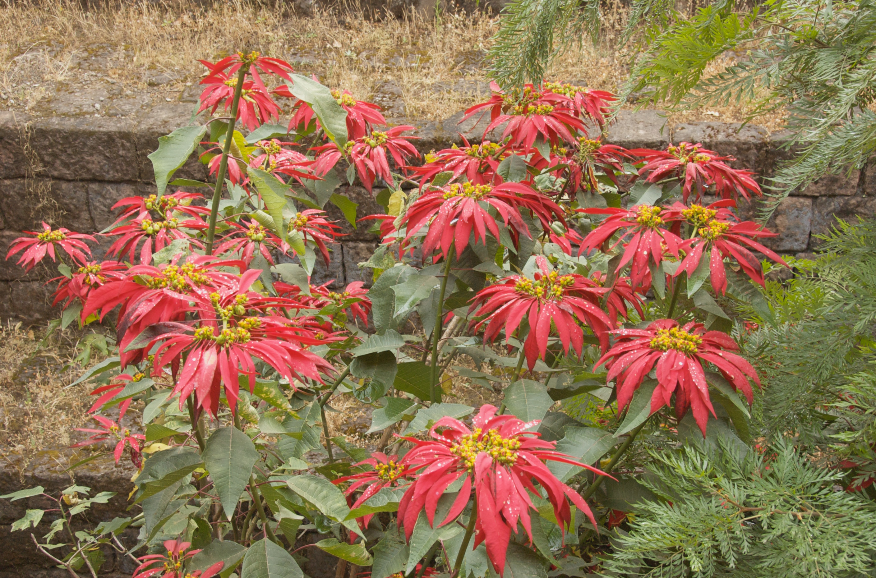 File:Ethiopian Poinsettia Bush (3427137868).jpg ...