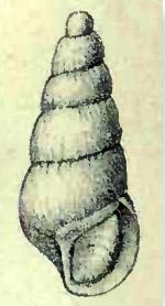 <i>Eulimella ventricosa</i> species of mollusc