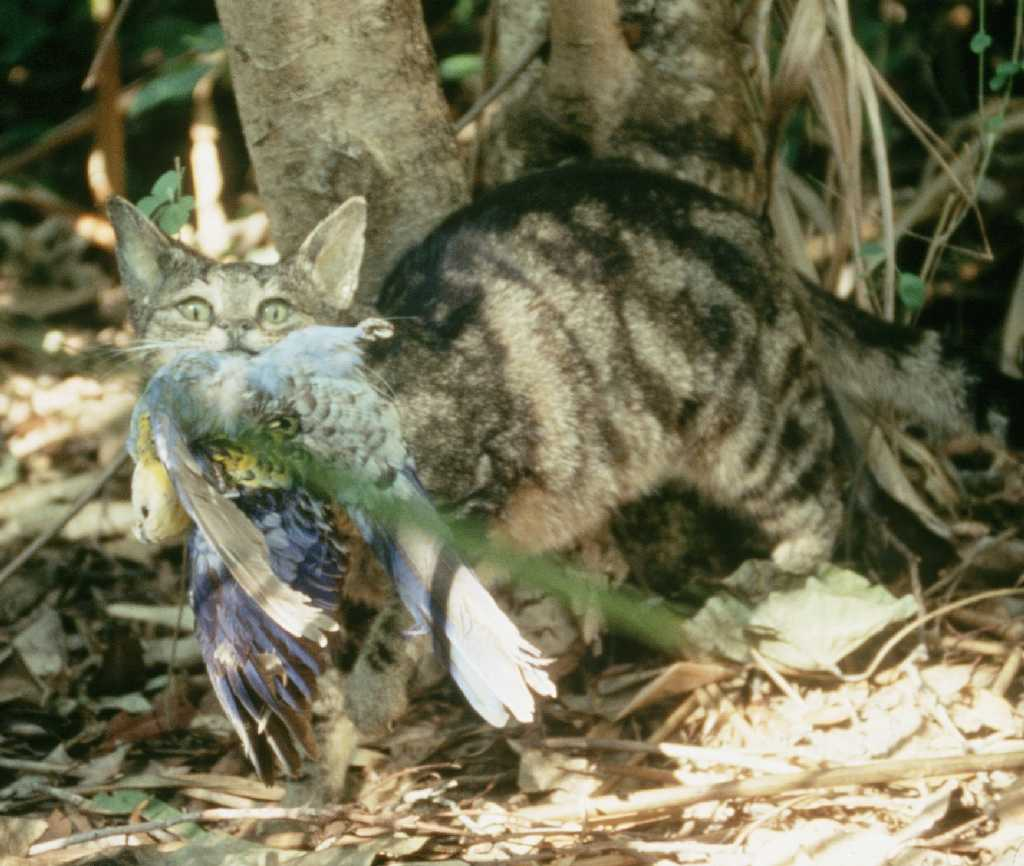 the environmental impact of feral cats preying on the songbird populations Studies have shown that cats pose threats to many bird populations, including  priority species for conservation, through their predation of adult, nestling, and  juvenile birds cats also have impacts  their diet to prey more on songbirds in  an area where chipmunks  and feral animals from the environment, remain the  most.