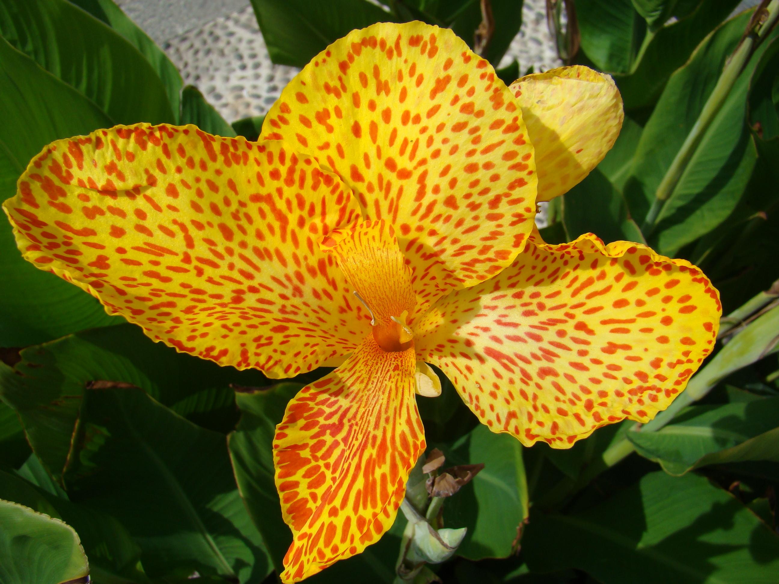 Descripción Flor siciliana para Laura lou.JPG