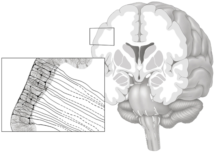https://upload.wikimedia.org/wikipedia/commons/c/c2/Gray_matter_axonal_connectivity.jpg