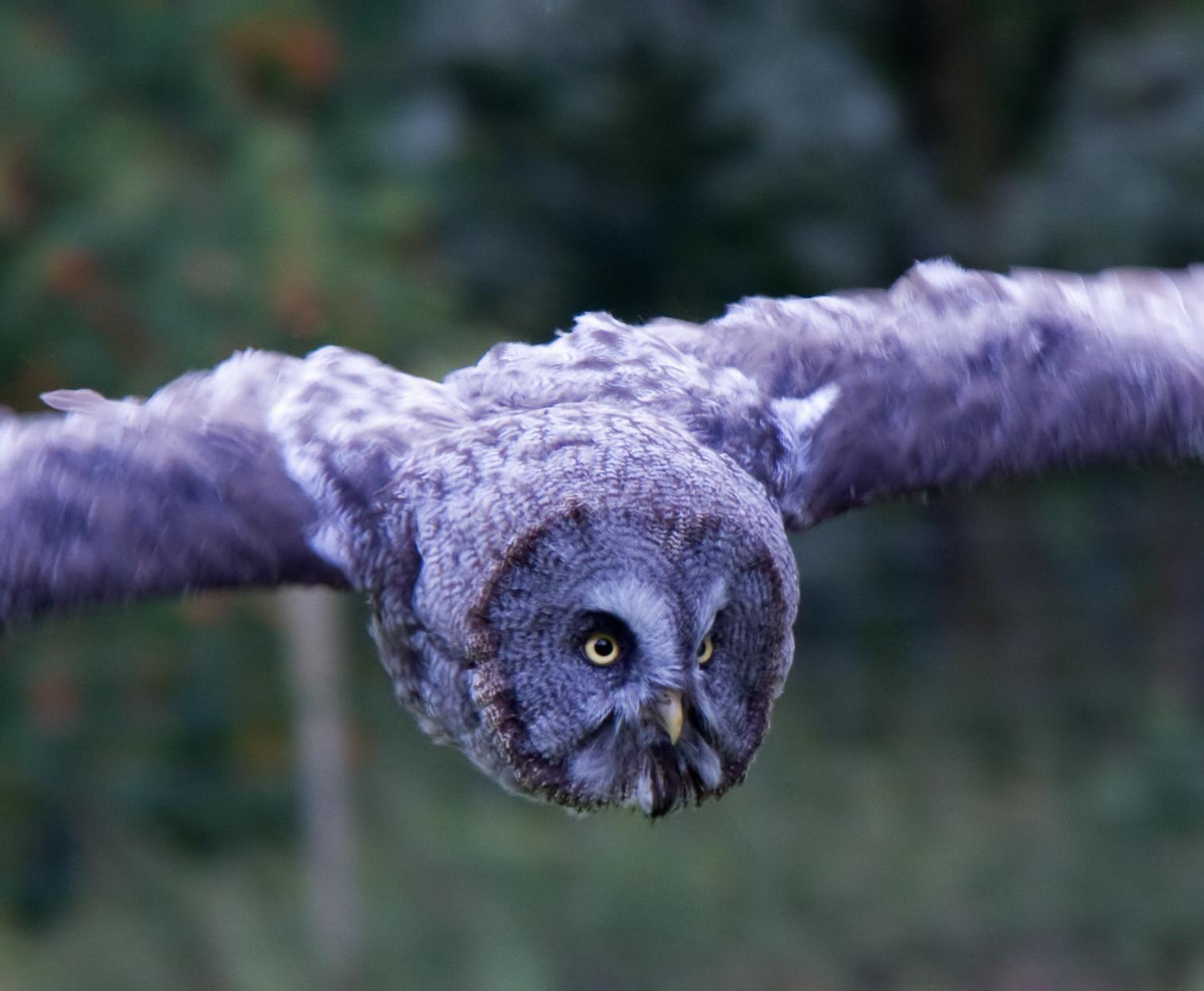 File:Great Grey Owl in flight 2 (6022480774).jpg ...