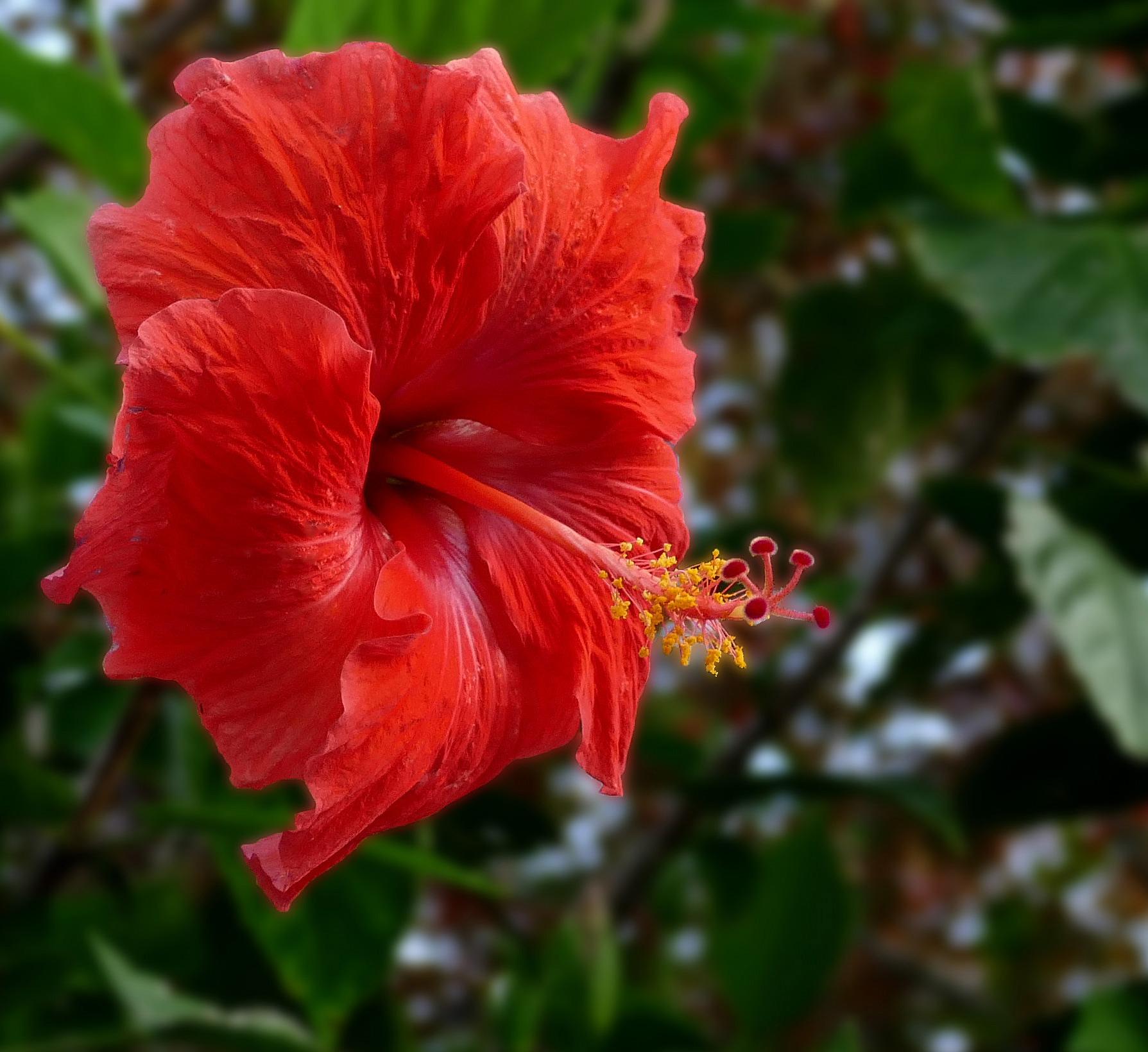 hibiscus  wikipedia, Beautiful flower