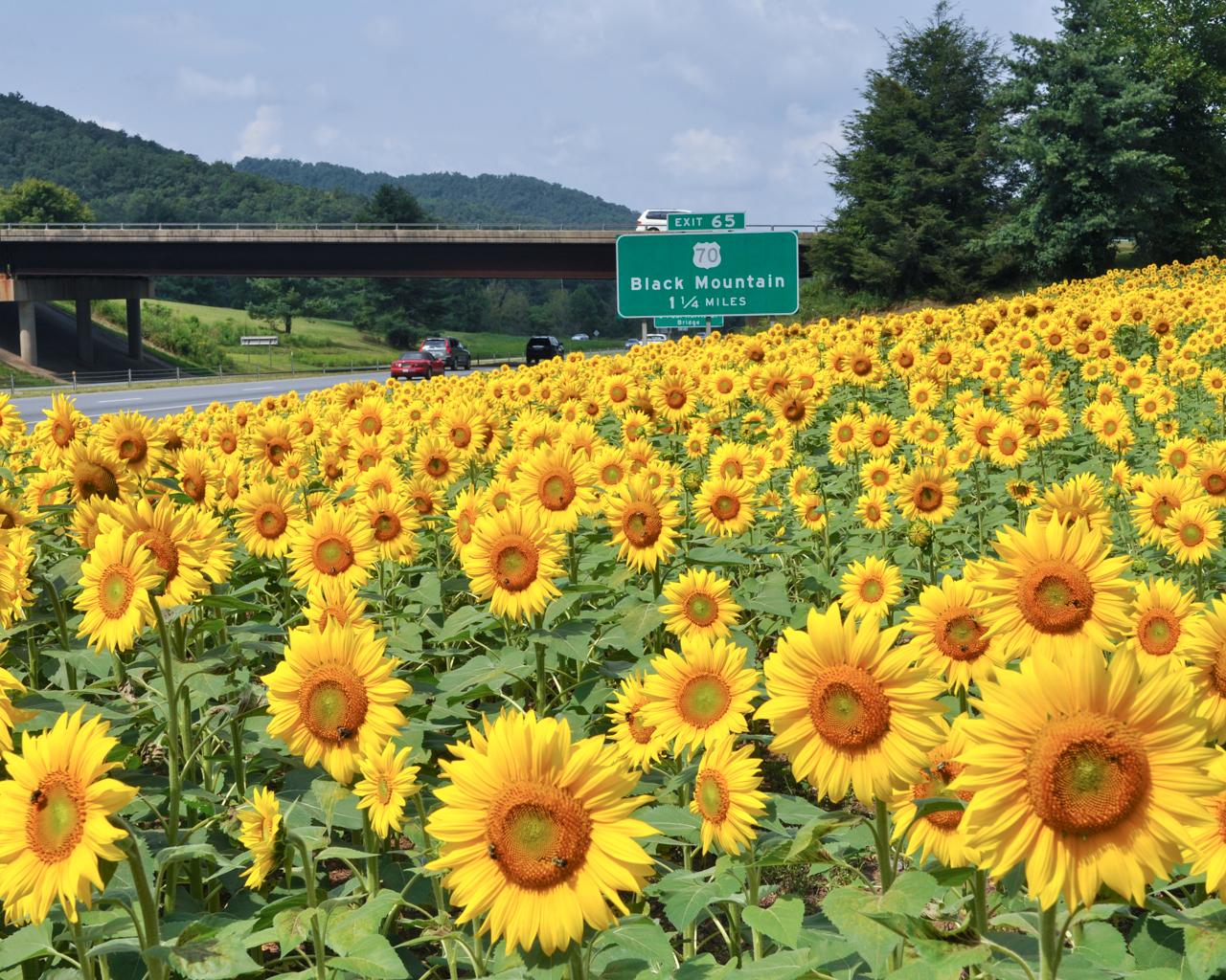 I-40W-Sunflowers.jpg