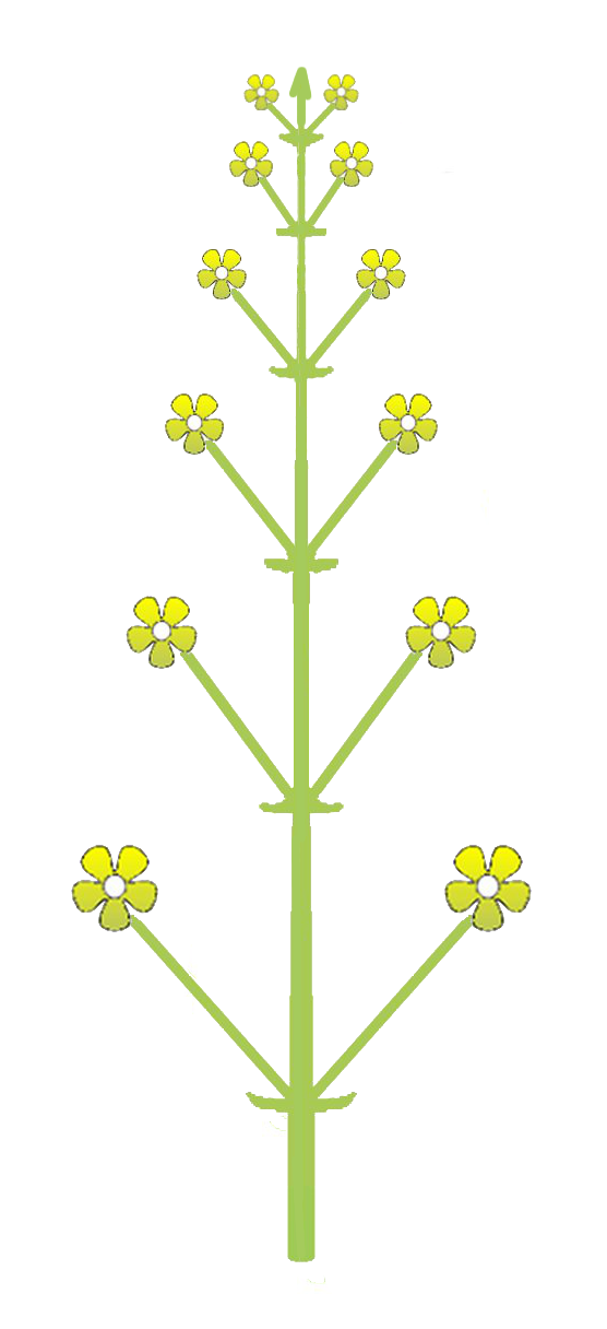 File:Inflorescence morphology raceme.png - Wikimedia Commons Raceme Inflorescence