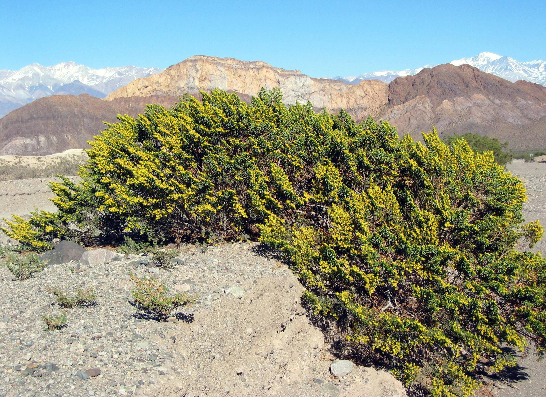 File jarilla con flores en wikimedia commons - Arbustos con flores ...
