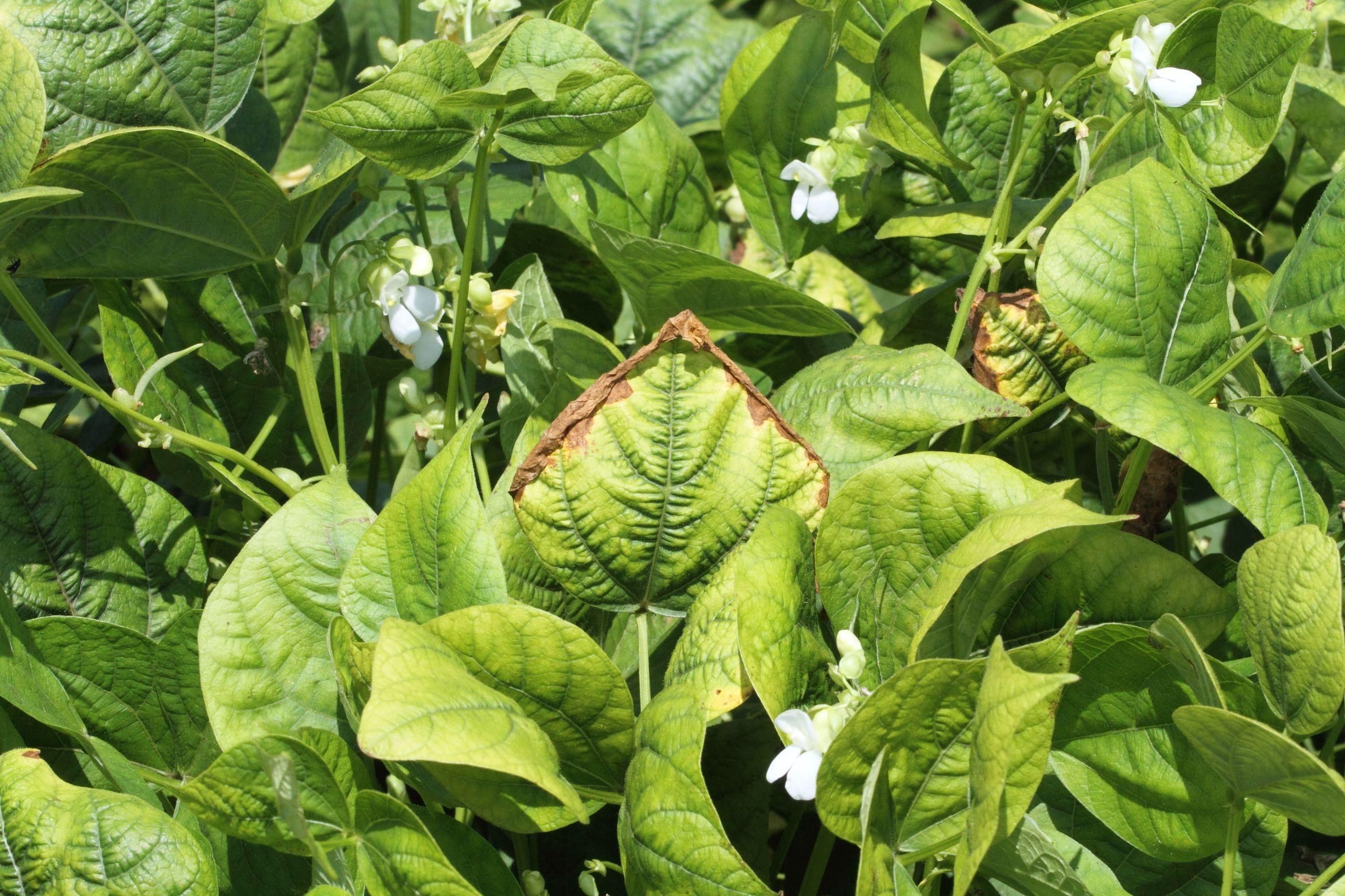 Potassium deficiency (plants) - Wikipedia