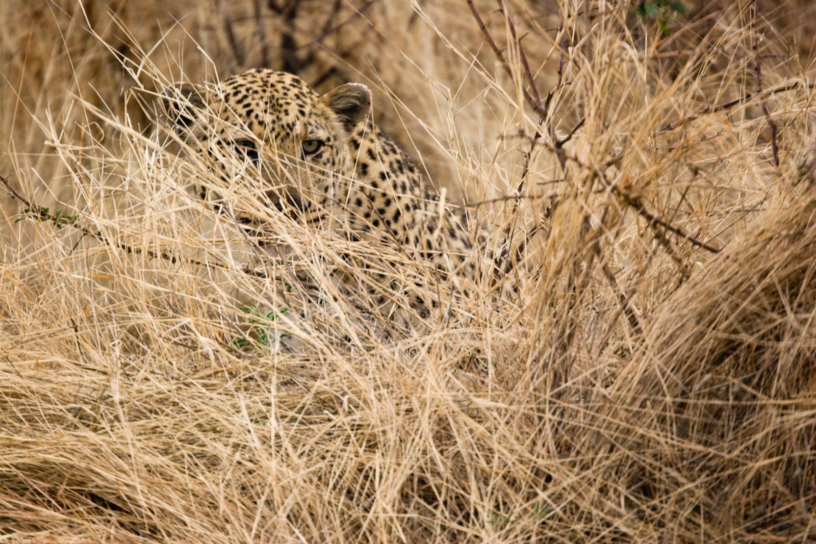 File Leopard Stalking 3684692897 Jpg Wikimedia Commons