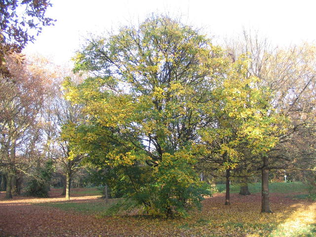 Maple, Hearsall Common - geograph.org.uk - 1051597
