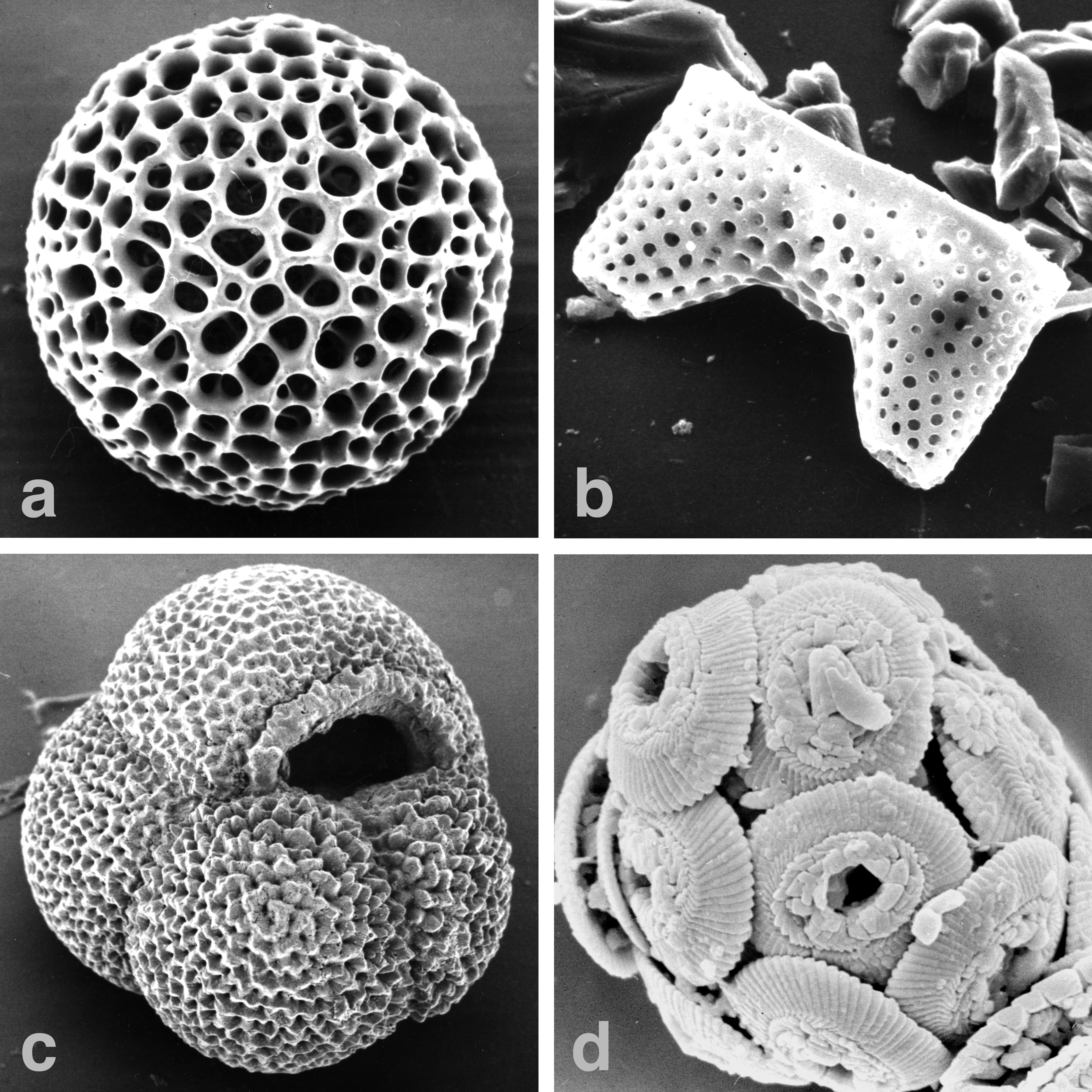 File:Marine-microfossils-major hg.jpg - Wikimedia Commons