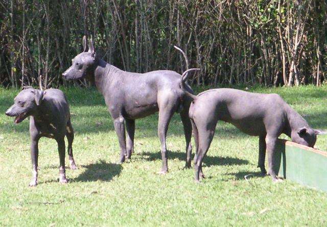 File:Mexico.Xoloitzcuintle.01.jpg