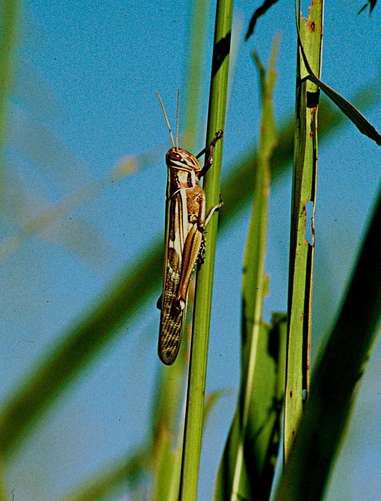 Kosher locust - Wikipedia