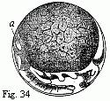 Podophthalma-34.png