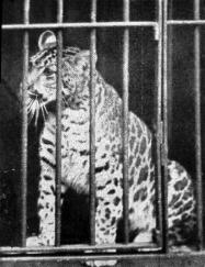 « Pumapard-1904 » par http://members.aol.com/jshartwell/hybrid-bigcats2.html. Sous licence Domaine public via Wikimedia Commons - https://commons.wikimedia.org/wiki/File:Pumapard-1904.jpg#/media/File:Pumapard-1904.jpg