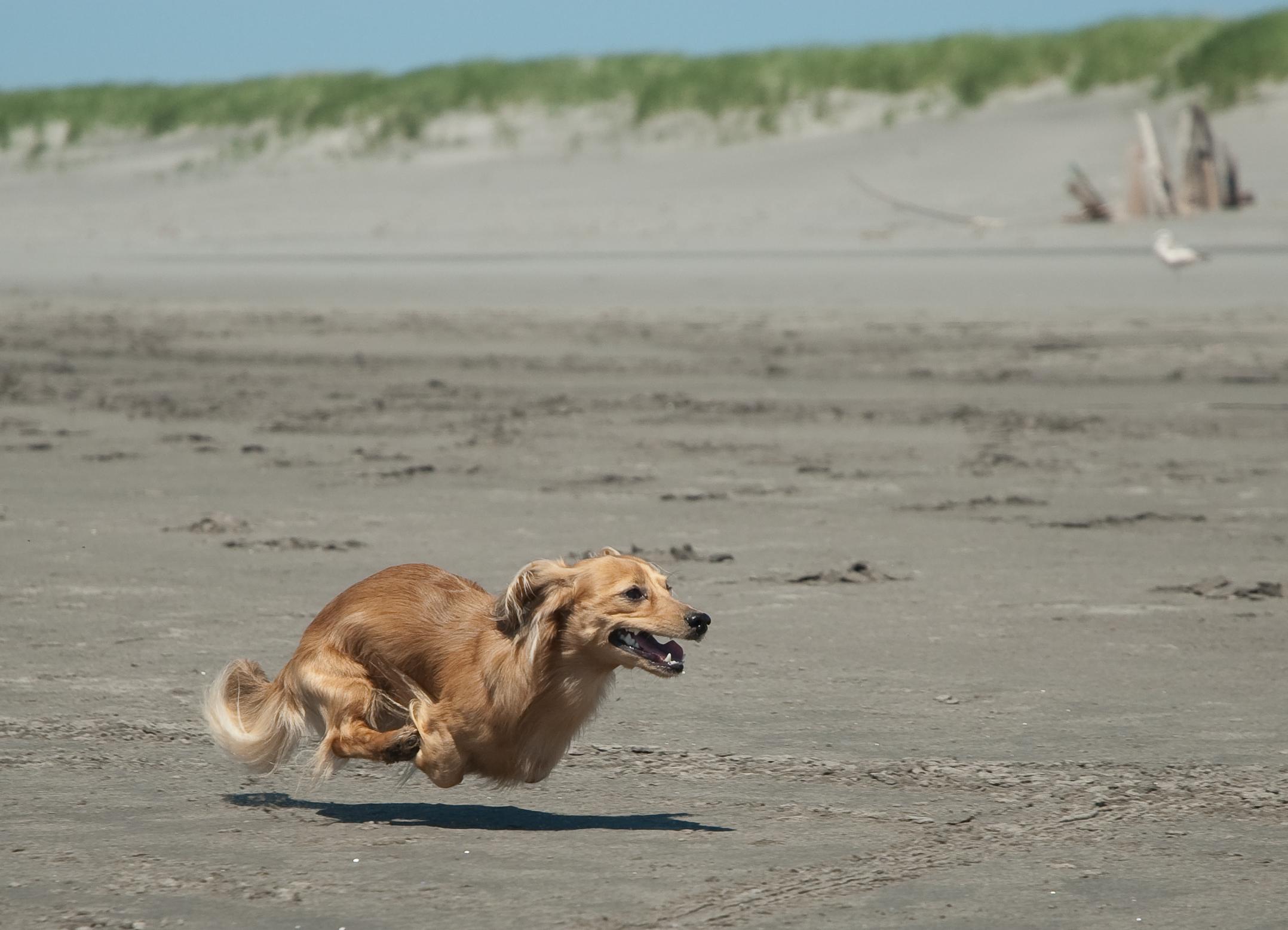 File Running Dachshund At The Beach Jpg Wikimedia Commons