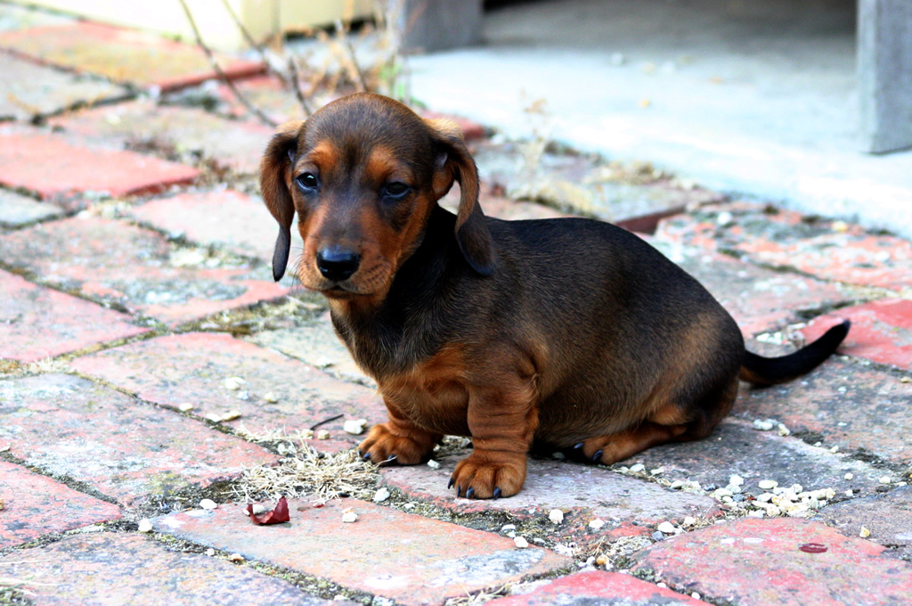 Description Smooth Miniature Dachshund puppy.jpg