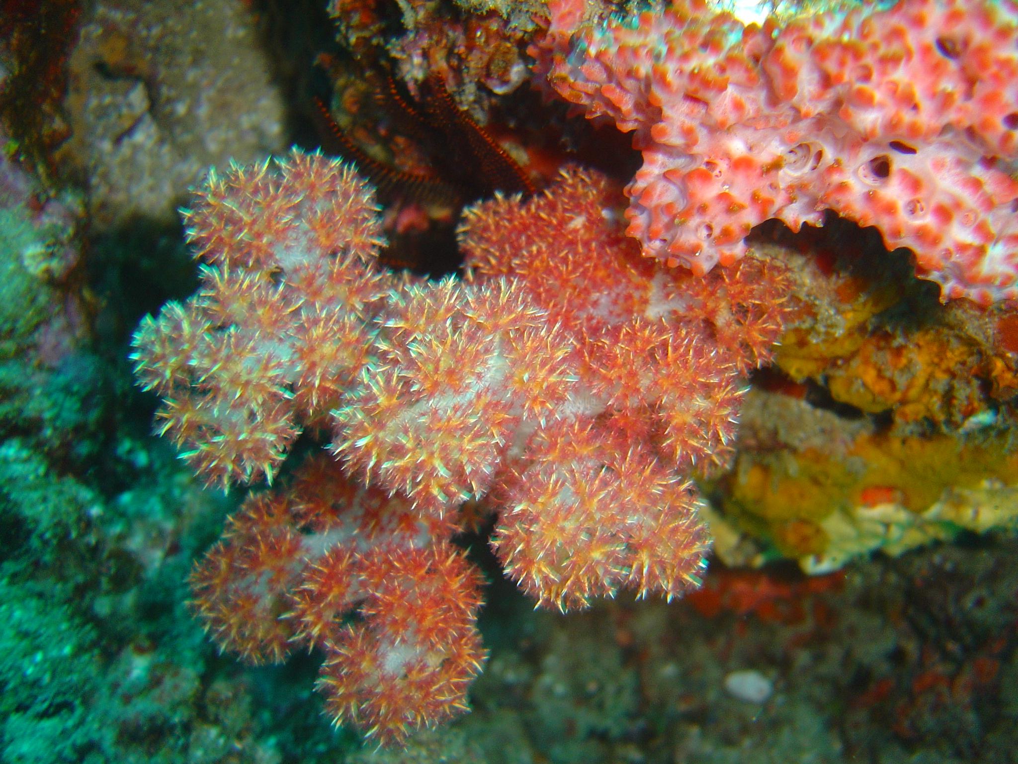 Description Thistle soft coral at Batfish pinnacle dsc04309.jpg