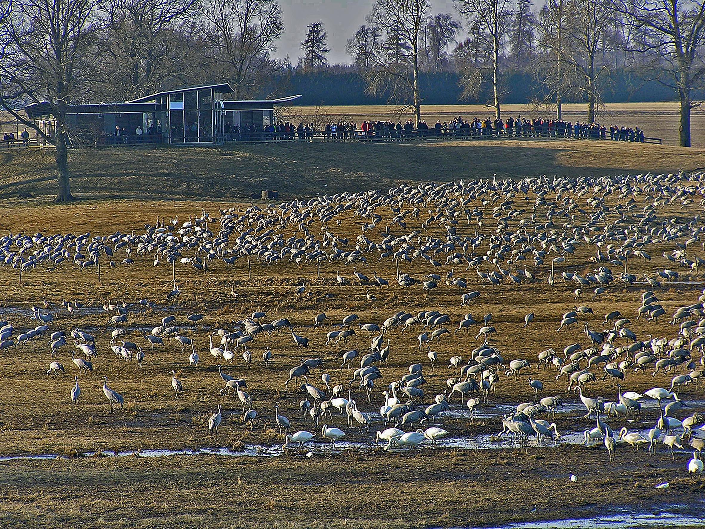 Grhakedopping vid Naturum Hornborgasjn - Picture of