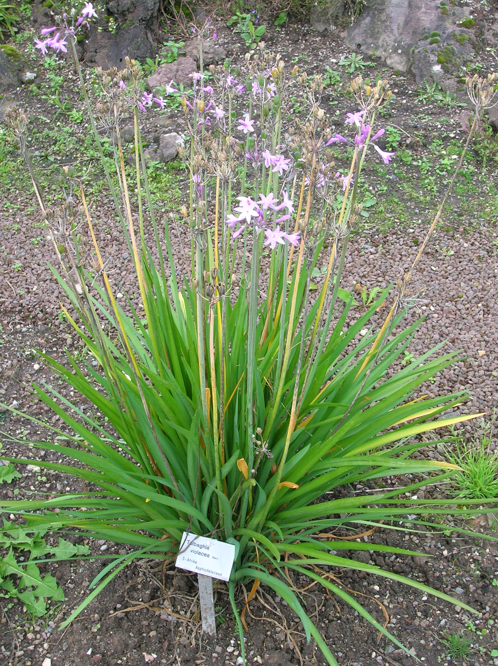 File tulbaghia violacea bg 10 09 29 wikimedia for Garden plant information
