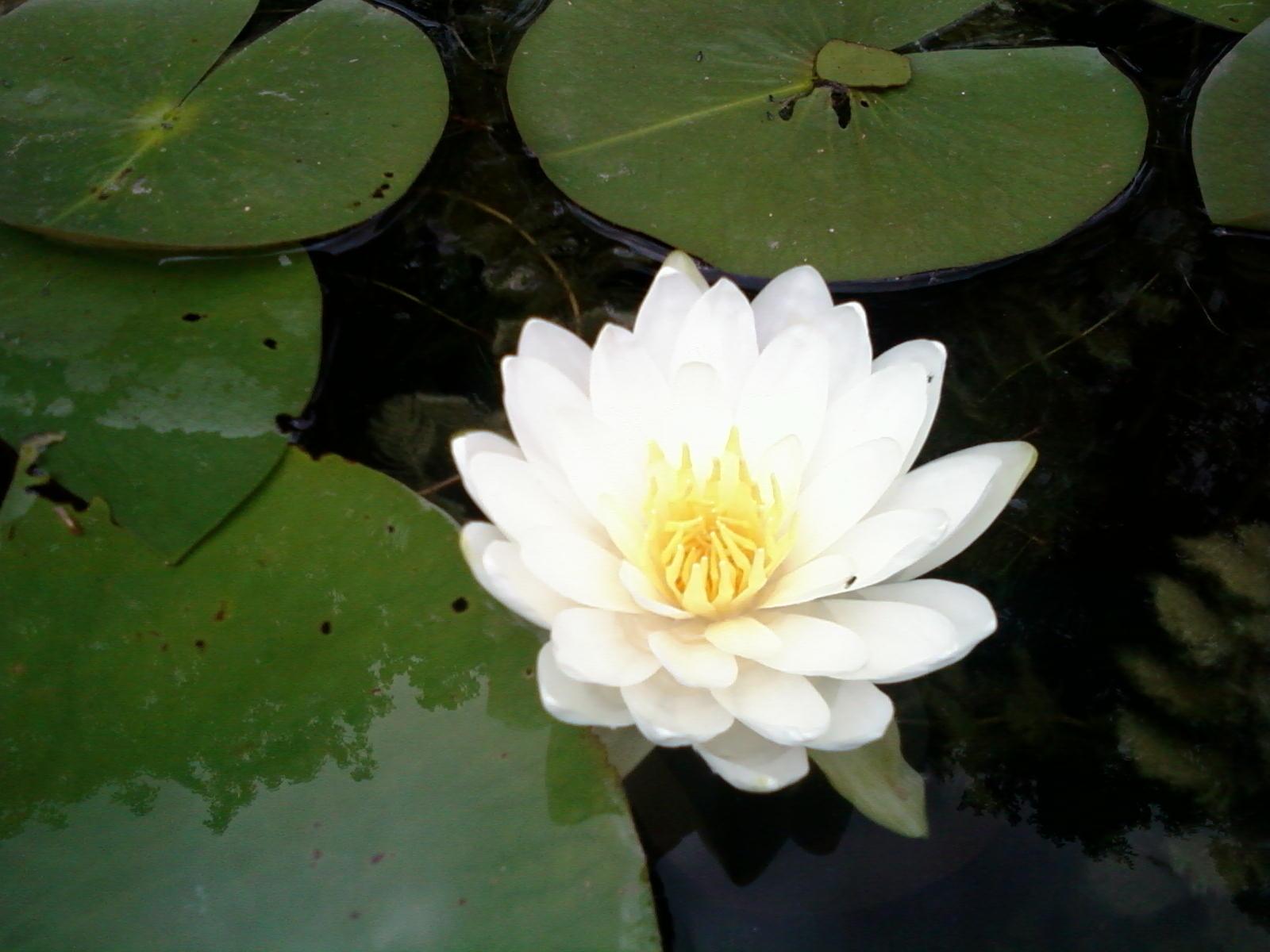 Filewhite water lillyg wikipedia filewhite water lillyg mightylinksfo