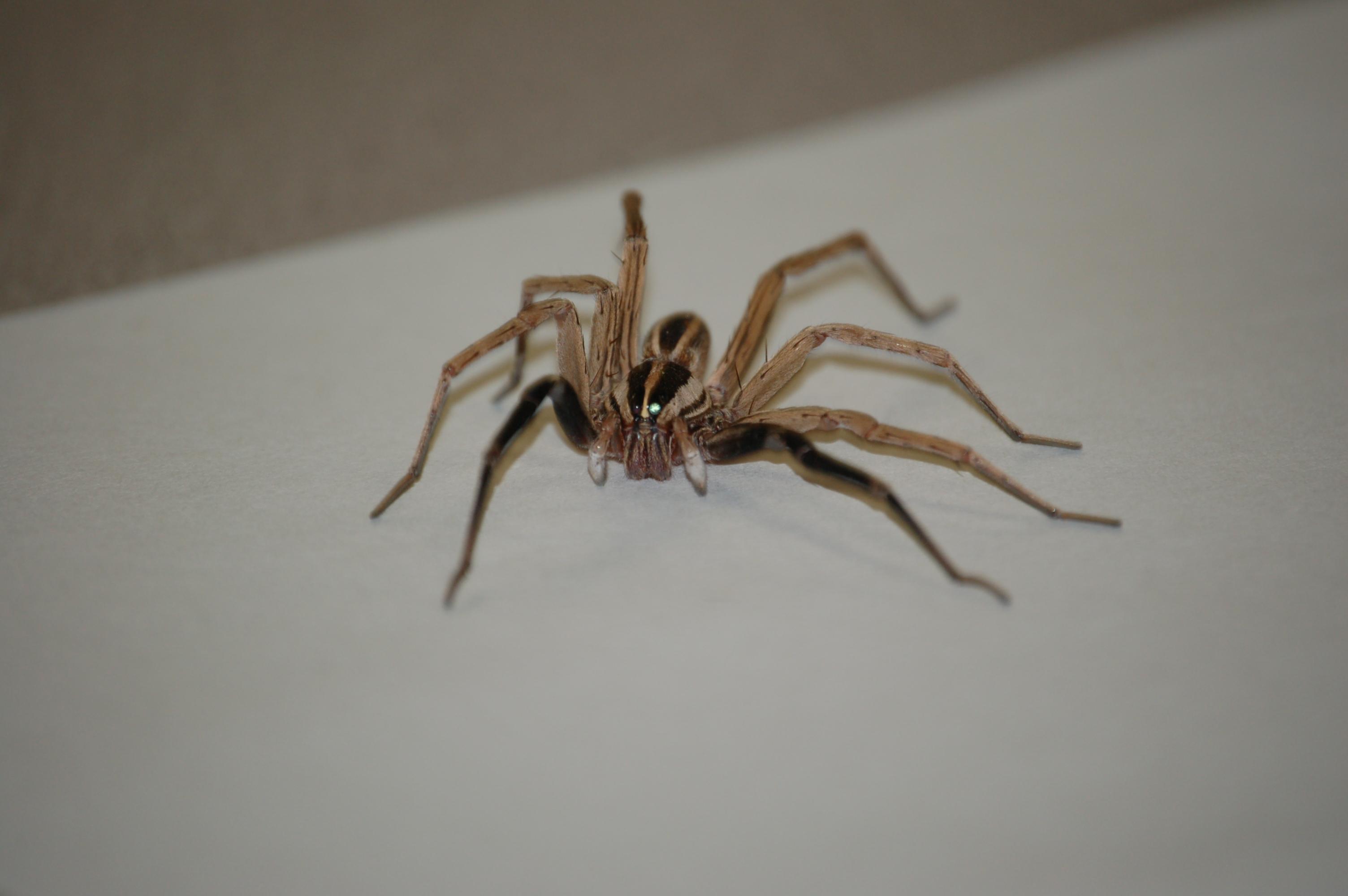 Oklahoma Wolf Spider