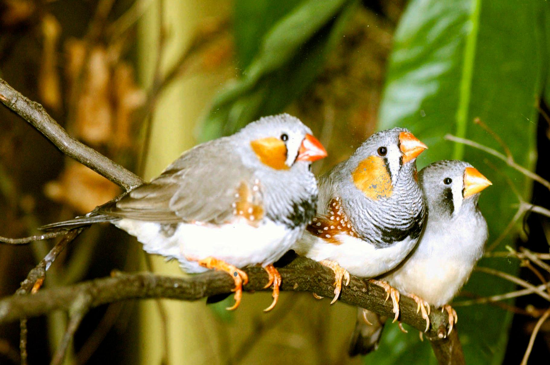 Gouldian Finch Diet
