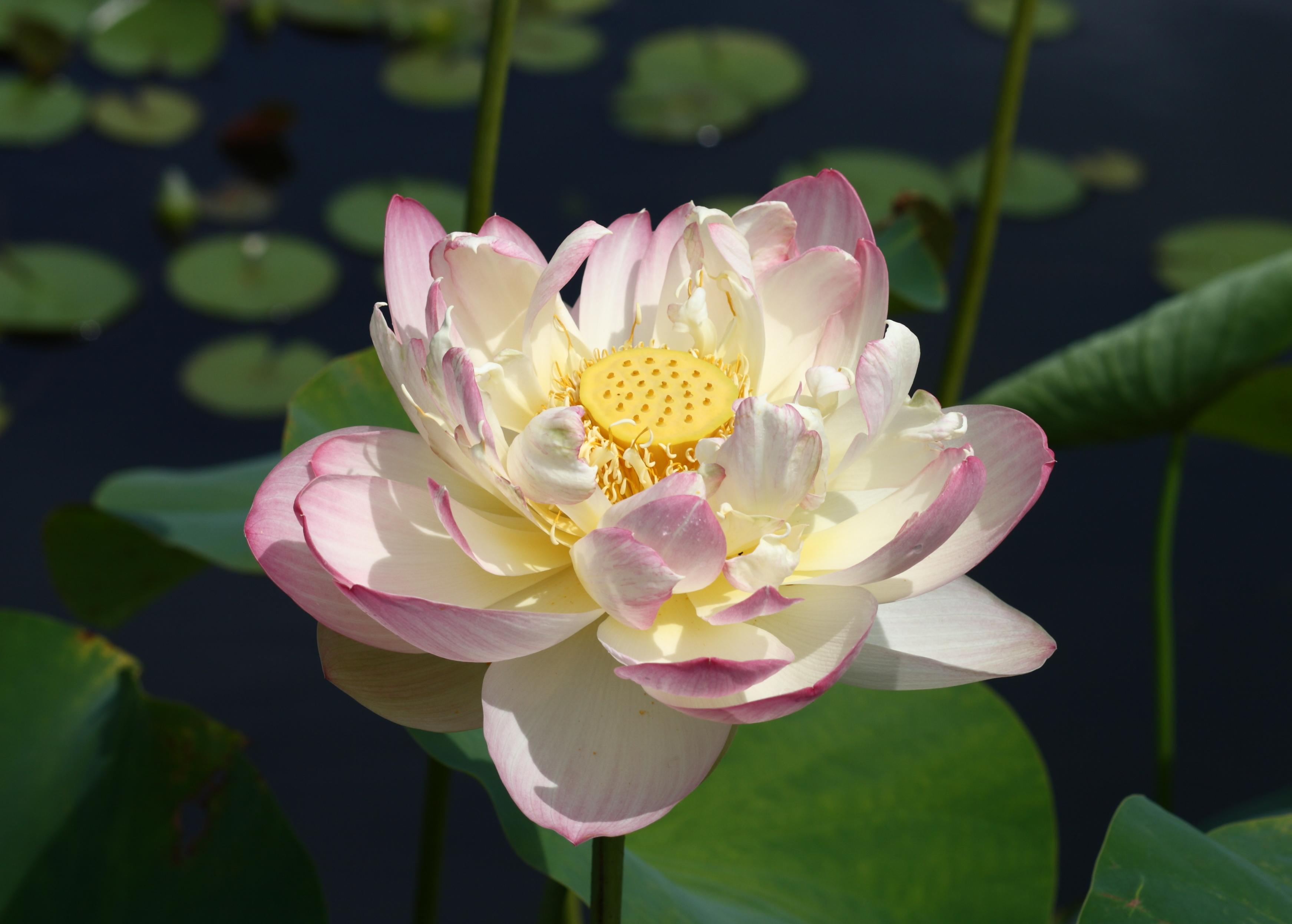 Filemrs Perry D Slocum Sacred Lotus In Full Bloom At Brooklyn