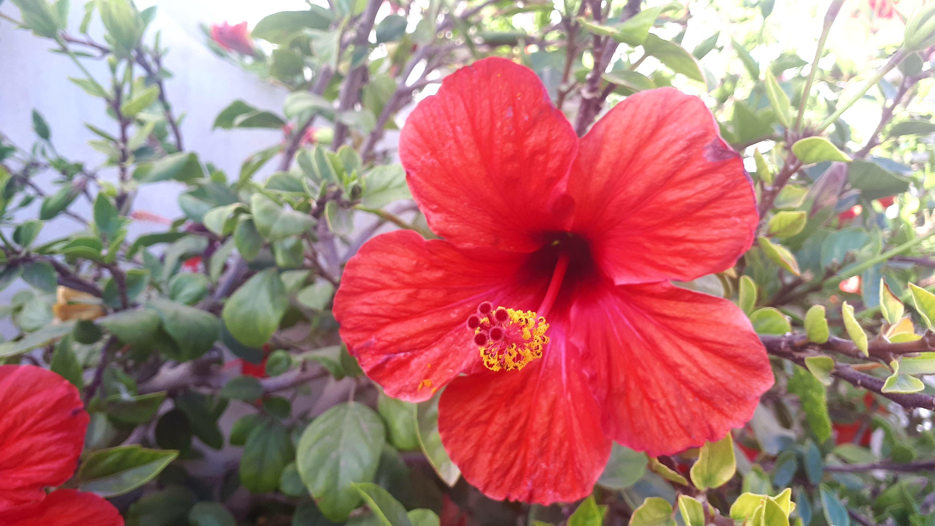 Filea Red Hibiscus Flowerg Wikimedia Commons