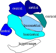 Subdivisions of the Amygdala