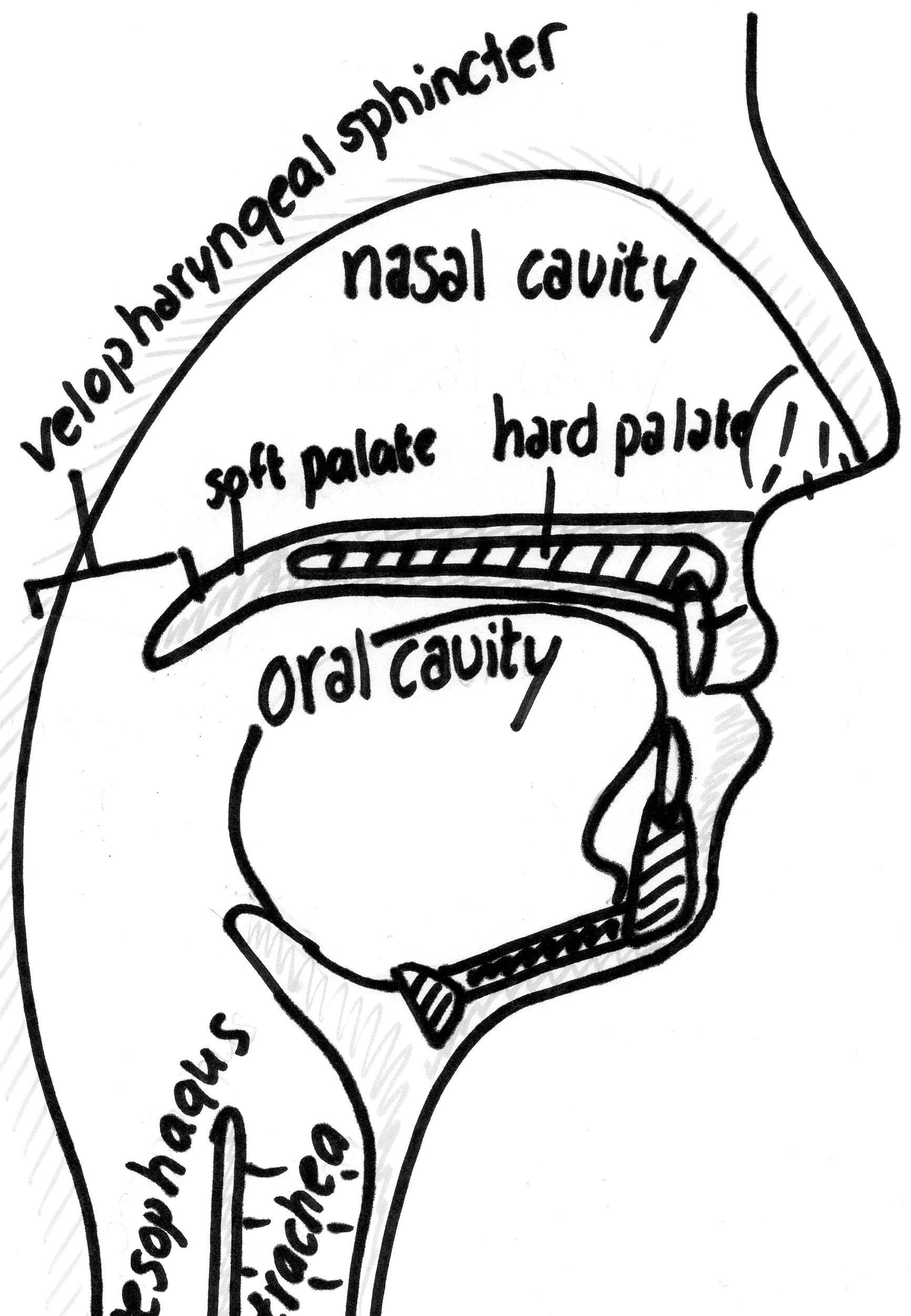 File:Anatomy oral and nasal cavities.jpg - Wikimedia Commons