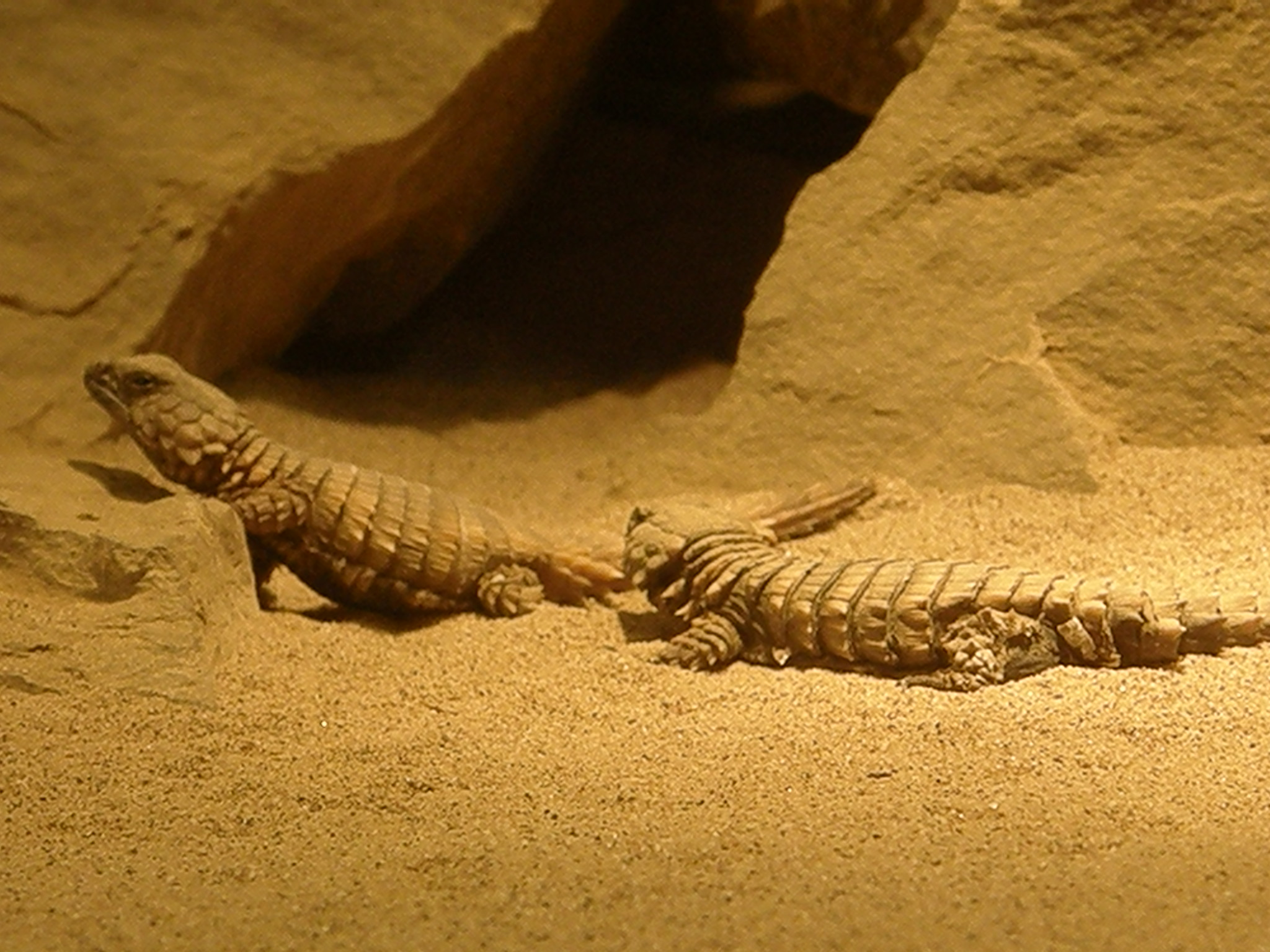 Armadillo girdle tailed lizard