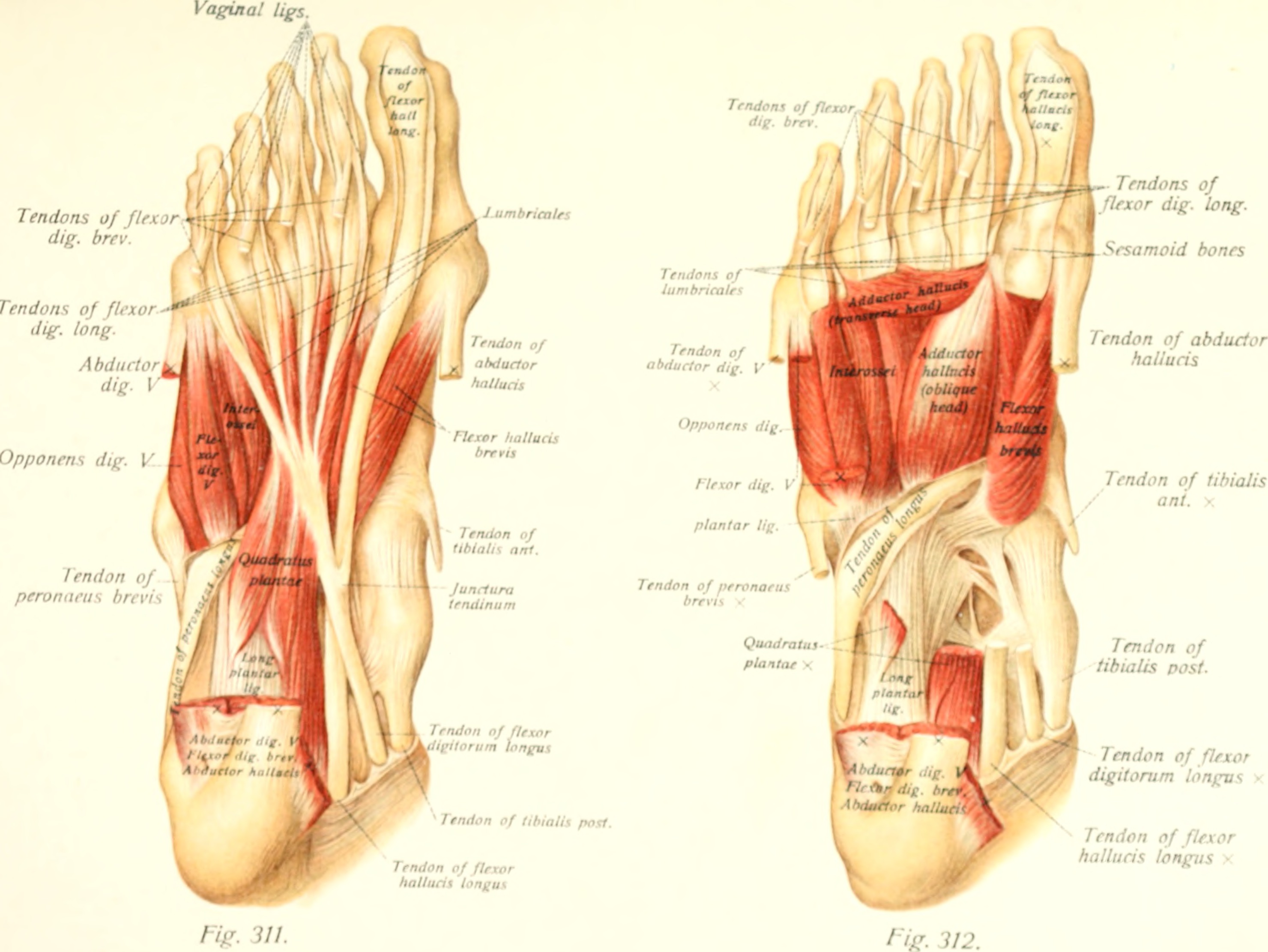 File:Atlas and text-book of human anatomy (1914-) (20157493758) jpg